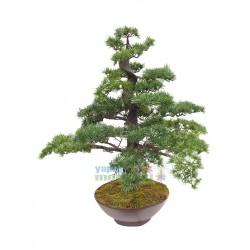 Çam Ağacı Bonzai