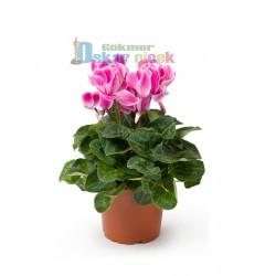 Siklamen Çiçeği (Cyclamen)