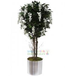 Beyaz wisteria ağaç